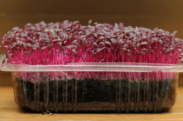 pink, microgreens, amaranth, plant - 29240512