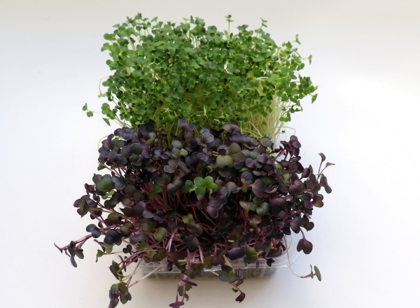 healthy, microgreens, on, white, background - 29288347