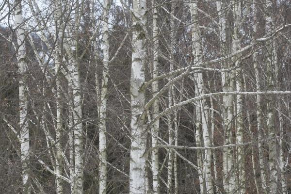 schneebedeckte baeume im winterwald