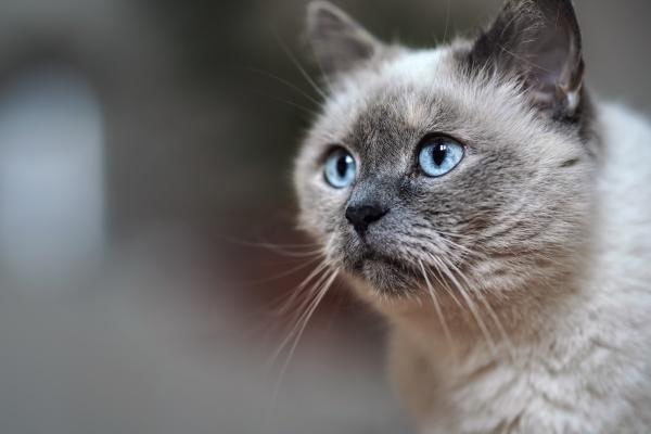 AEltere graue katze mit durchdringenden blauen