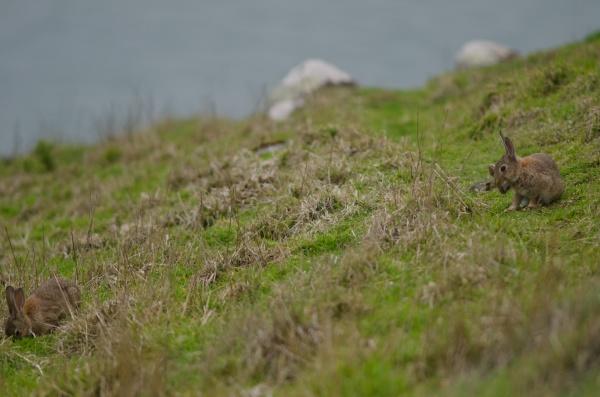 europaeische kaninchen oryctolagus cuniculus