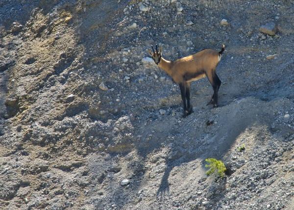 chamois in steinigem gelaende im nationalpark