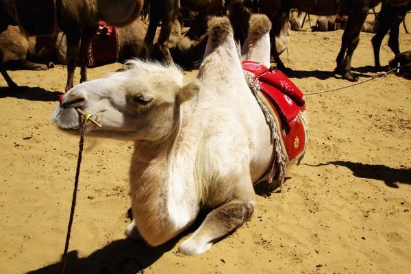 baktrische kamele camelus bactrianus in einer