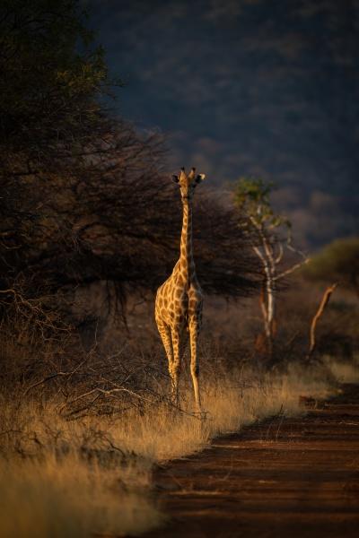 suedliche giraffe steht bei sonnenuntergang neben
