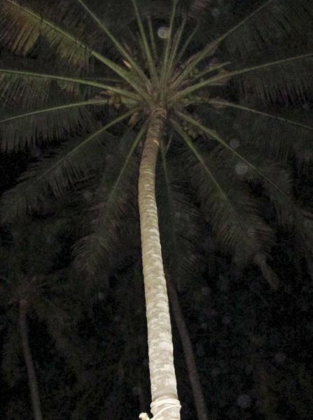 eine hohe palme bei nacht