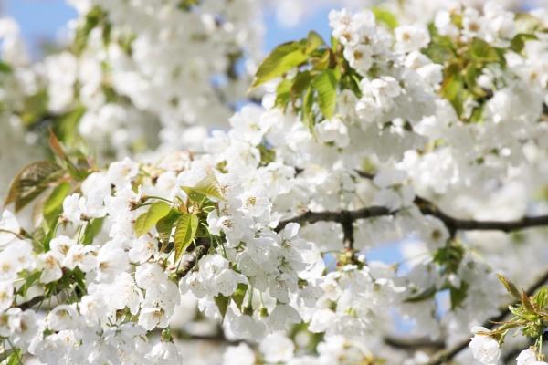 fruehlingshintergrund mit kirschbluetenbaeumen