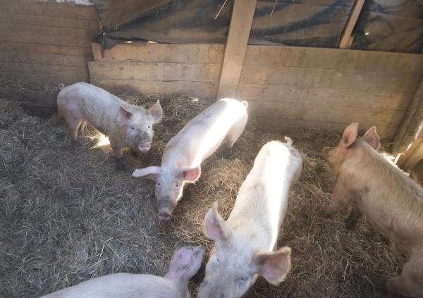 schweinezucht in einem schweinestall