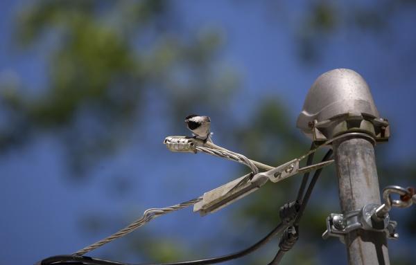 schwarzkappen-chickadee, essen - 29767726