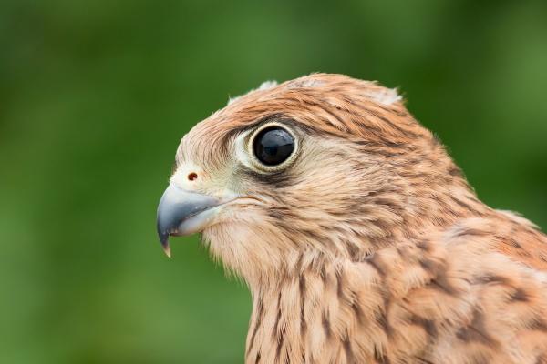 portraet eines jungen turmfalken