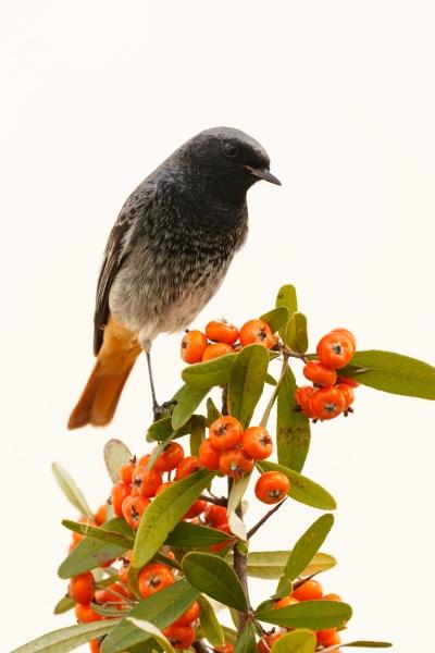 hübscher, vogel, mit, einem, schönen, orangeroten - 29778911