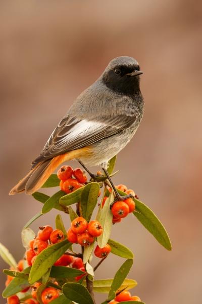 hübscher, vogel, mit, einem, schönen, orangeroten - 29778912