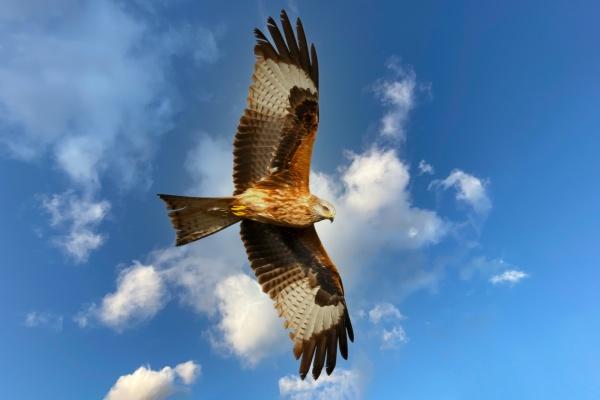 brauner adler fliegt am blauen himmel