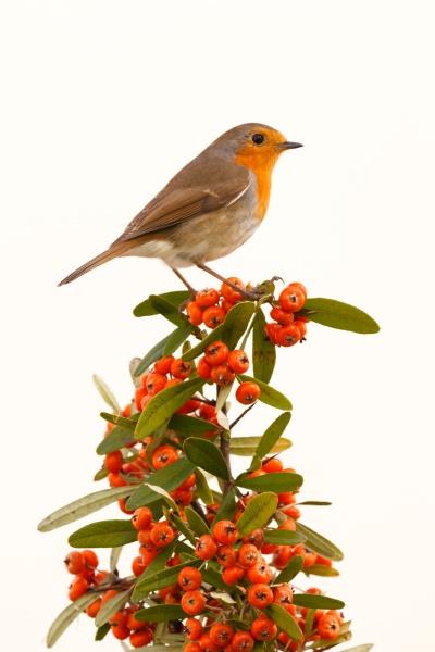 hübscher, vogel, mit, einem, schönen, orangeroten - 29783965