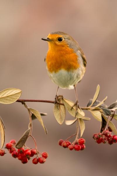 hübscher, vogel, mit, einem, schönen, roten - 29783962