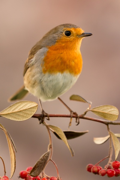 pretty, bird, with, a, nice, red - 29783963