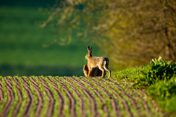 a, wild, hare, on, a, field - 29863805