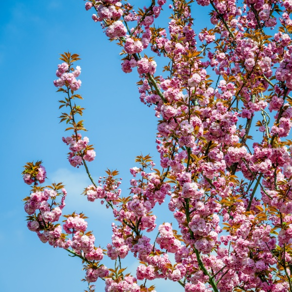 rosa, blüten, blühen, auf, bäumen - 29879875