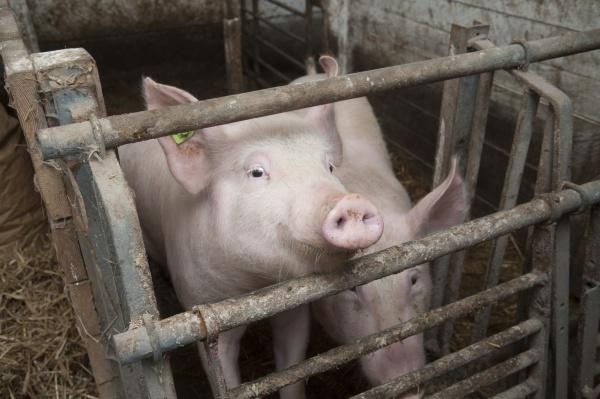 schweinezucht im schweinestall