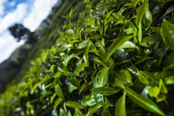 schöne, plantage, mit, frischem, grünem, tee - 30132148