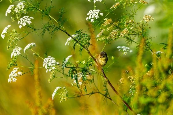 eine, junge, meisenmaus, in, freier, wildbahn - 30454395