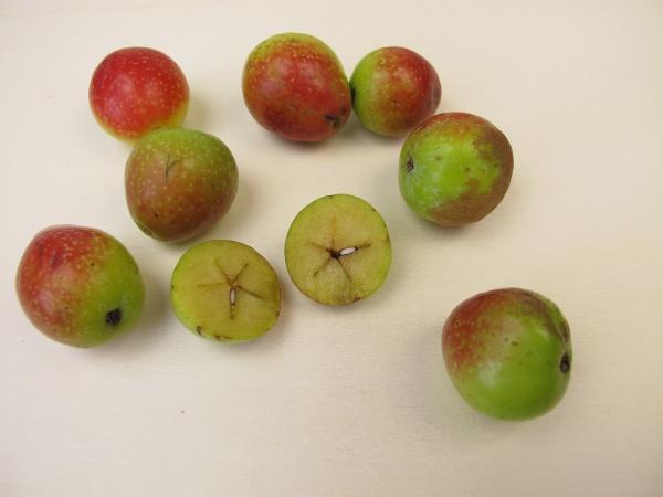 apfelfrüchte, vom, servicebaum, sorbus, domestica - 30513674