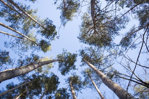blauer, himmel, in, einem, pinienwald, an - 30610850