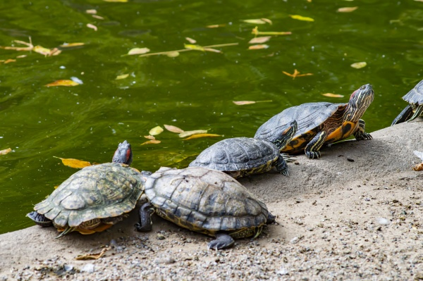 freshwater, turtles, on, the, shore, near - 30614219