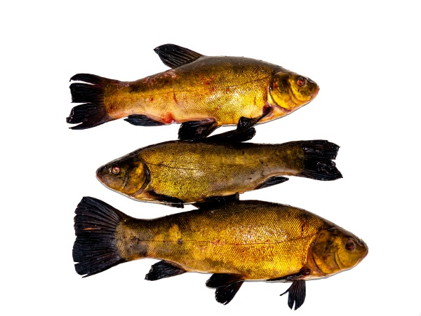 freshwater, fish, tench, on, a, white - 30619410