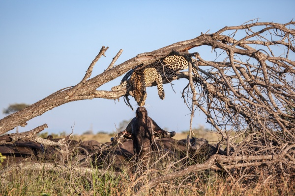 a, leopard, lies, in, a, dead - 30680734