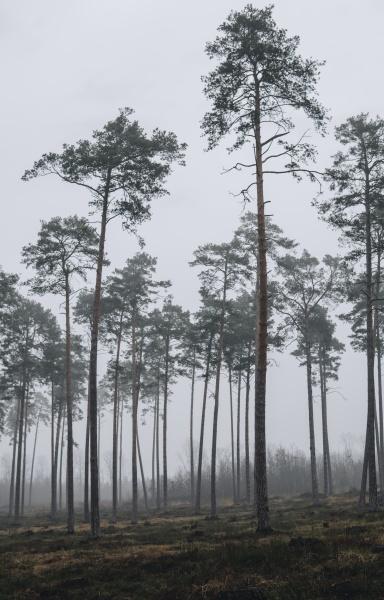 neblige, landschaft, mit, pinienwald - 30699571