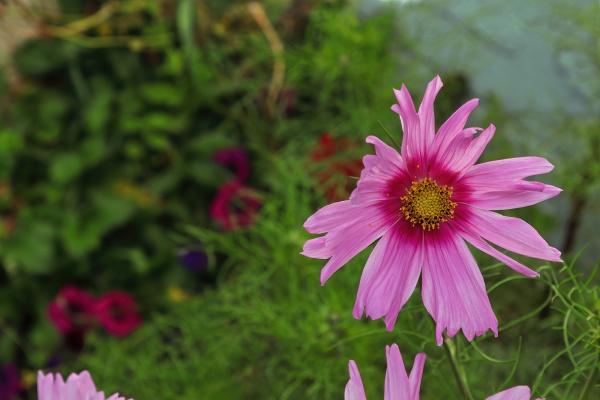hintergrund einer rosa kosmosblume
