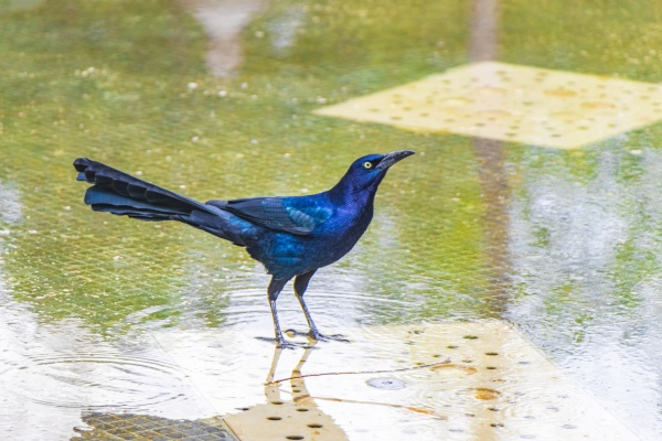 great-tailed, grackle, male, bird, drinking, water - 30725696