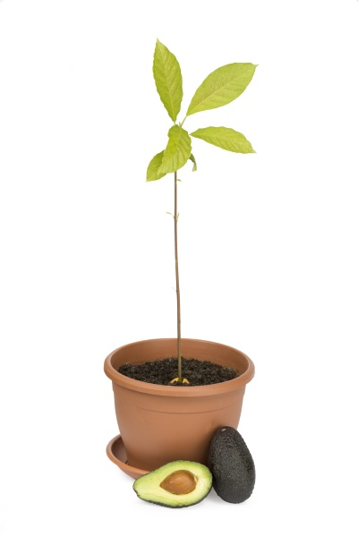 avocadopflanzen und fruechte