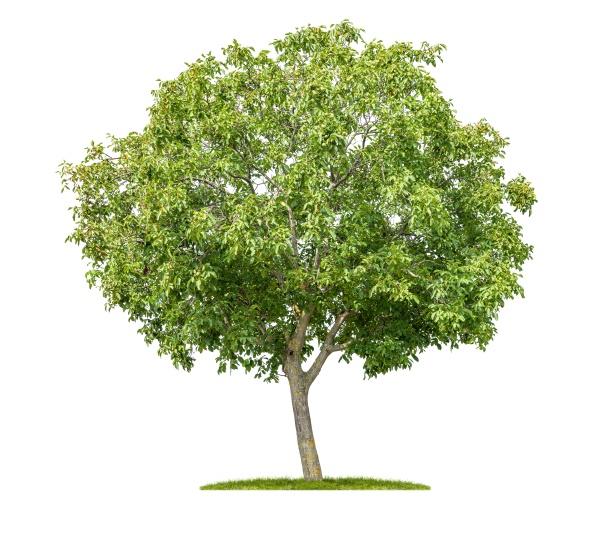isolierter kastanienbaum auf weissem hintergrund