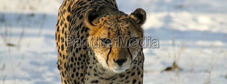 geparden in schnee reload