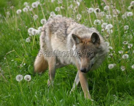 der wolf eins