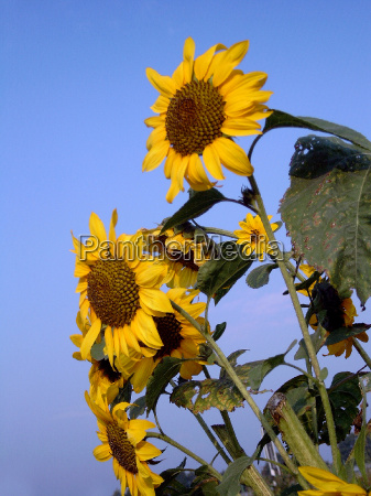 sunflower latin helianthus annuus