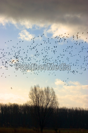 vogelschwarm 04