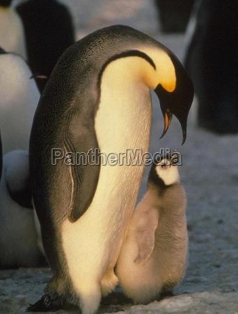 reise der pinguine iii