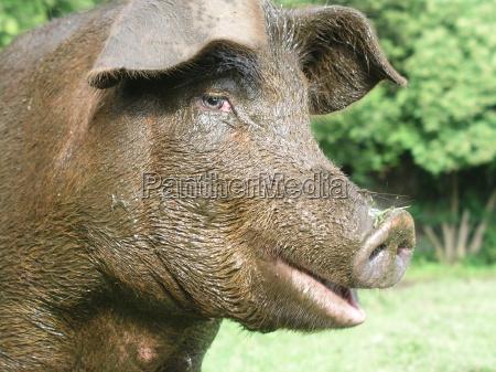 schweineglueck