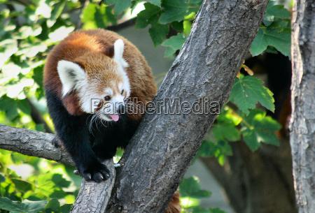 kleiner panda im sommer