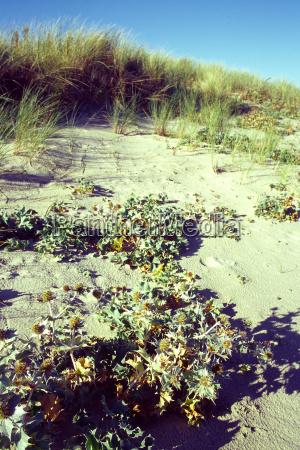 beach thistle