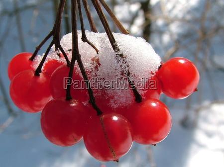 rote schneebeeren