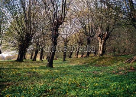 hainbuchen in spring