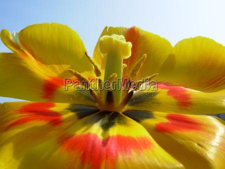 tulpenbluete am verwelken