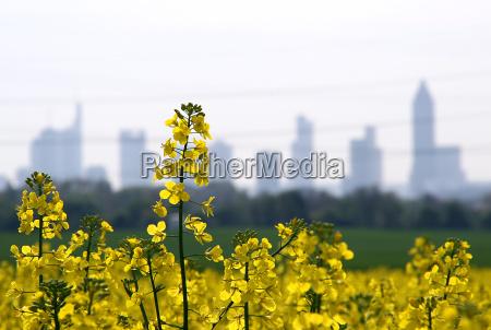rapeseed in front of frankfurt
