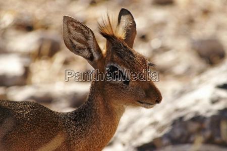 dik dik antilope