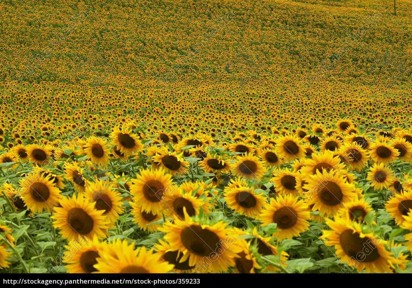 Elegante Drehung: Wie sich Sonnenblumen nach der Sonne ausrichten ...