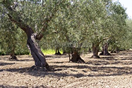 baum landwirtschaft oliven erde humus muttererde