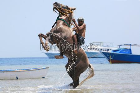 araber hengst